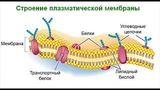 Биология.  Часть 3. Строение клетки, прокариоты, эукариоты, клеточная мембрана