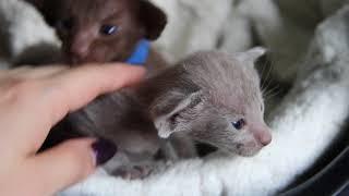 Шоколадные ориентальные котята из питомника Офир