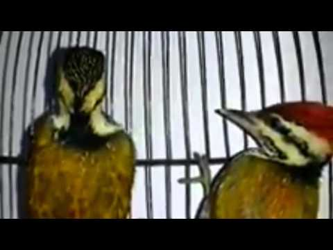 Sepasang Burung Blatuk Bawang | Komunitas Kicau Burung Mania