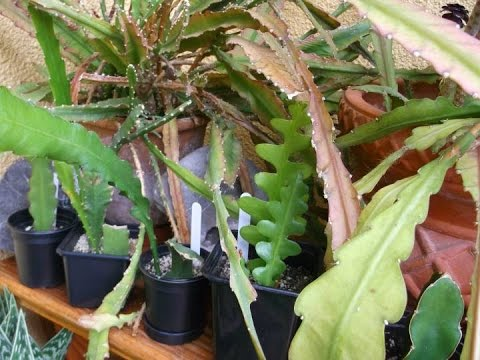 How to care for and grow Epiphyllum Cacti / Orchid Cactus.