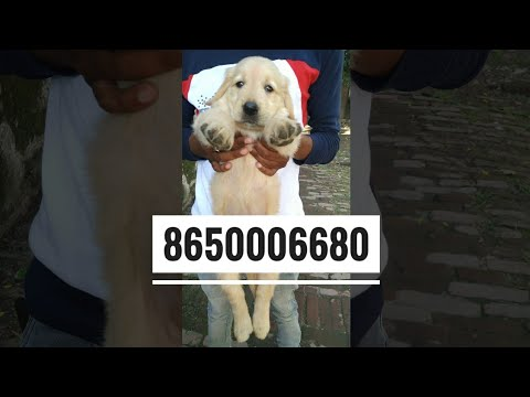 8650006680 Dog For Sale Golden Retriever In Dehradun Uttrakhand