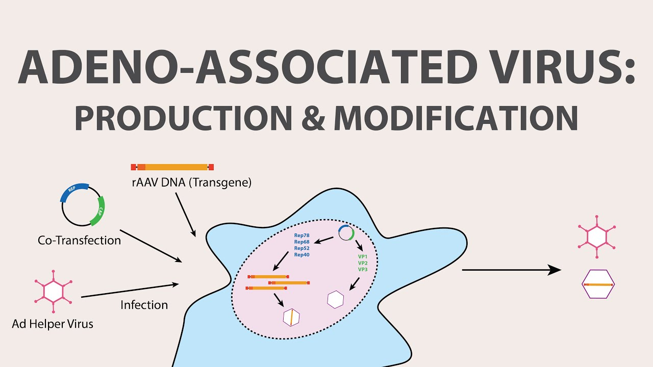 2  adeno associated virus  aav  - production and modification of aav