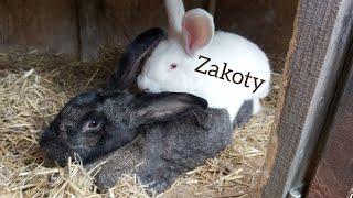 DOPUSZCZANIE SAMICY DO SAMCA - Zakoty w hodowli królików