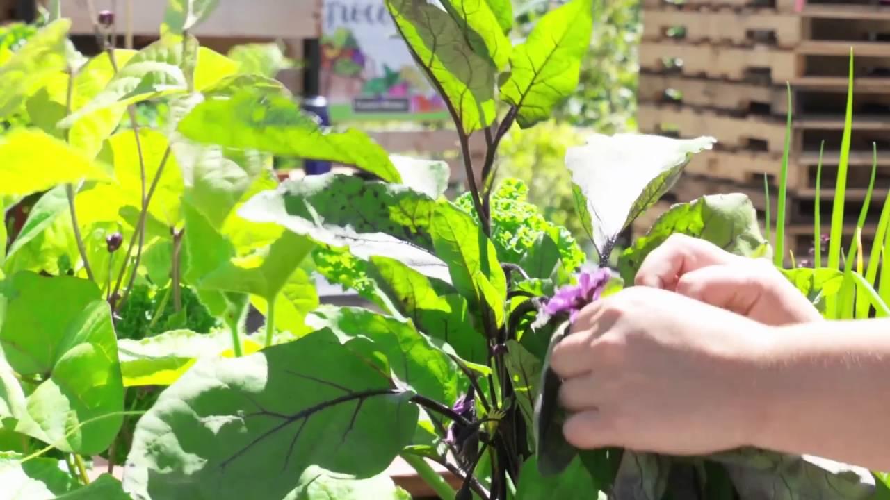 How to Prune Eggplant