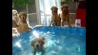 Собаки купаются в бассейне / dog swimming in the pool