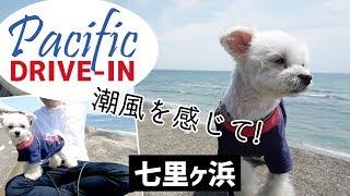 マルチーズ(Maltese)とポメラニアン(Pomeranian)とのミックス犬の通称マ...