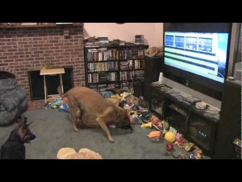 Dog gets excited by watching Bolt on TV