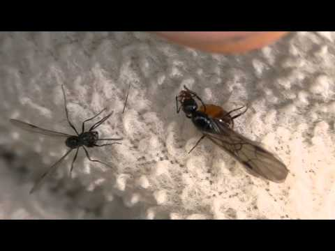 Queen Ant Removing Her Wings