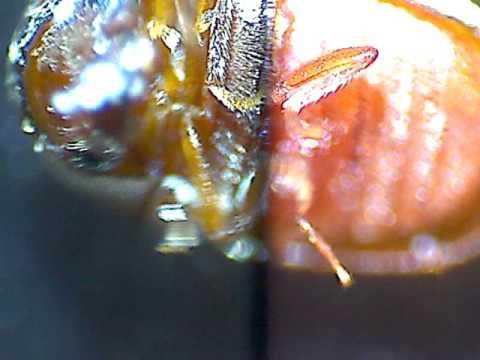 жук под микроскопом