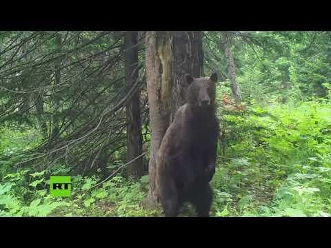 Un oso 'se pega' un baile en medio de un bosque ruso