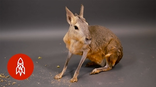 The Patagonian Mara Is a Rodent on the Run thumbnail