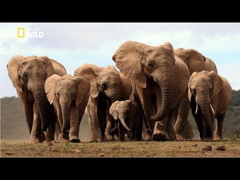 Life of Elephants [National Geographic Documentary HD 2017]