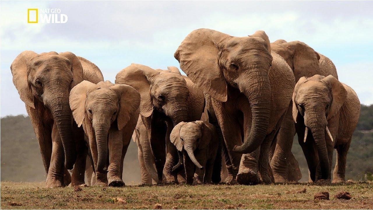 Life of Elephants [National Geographic Documentary HD 2017]