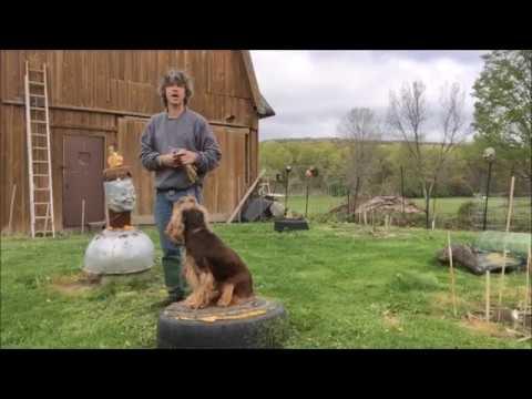 Gun Shyness, Make Jupie Not Gun Shy : Thunder Phobic Dogs