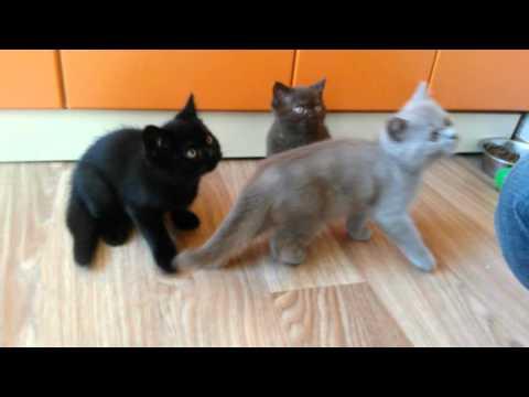 Altangera.ru продажа британских котят в Ростове-на-Дону