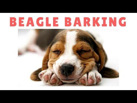 Best Beagle Barking Compilation - Dogs Barking Sound