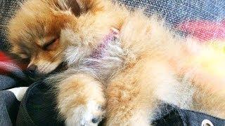 Briochi - Kleiner Pomeranian ♡