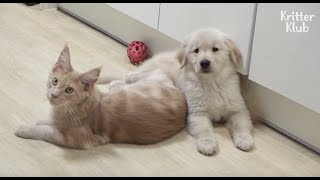 Is It True This Dog-like Cat Hangs Out With Doggos And Even Eats Dog Food?! | Kritter Klub