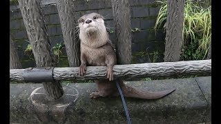 Otter Aty is scared something unexpected [Otter life Day 132] カワウソアティ 意外なものが怖い