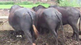 Bhopalwala buffalo dairy farm, Pakistan, Bhopalwala, Riaz Ahmed Gujjar
