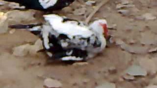 مقطع فيديو لعملية جنسية (جماع الطيور) مصورة