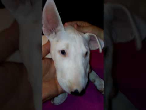 Bart starr the bull terrier puppy