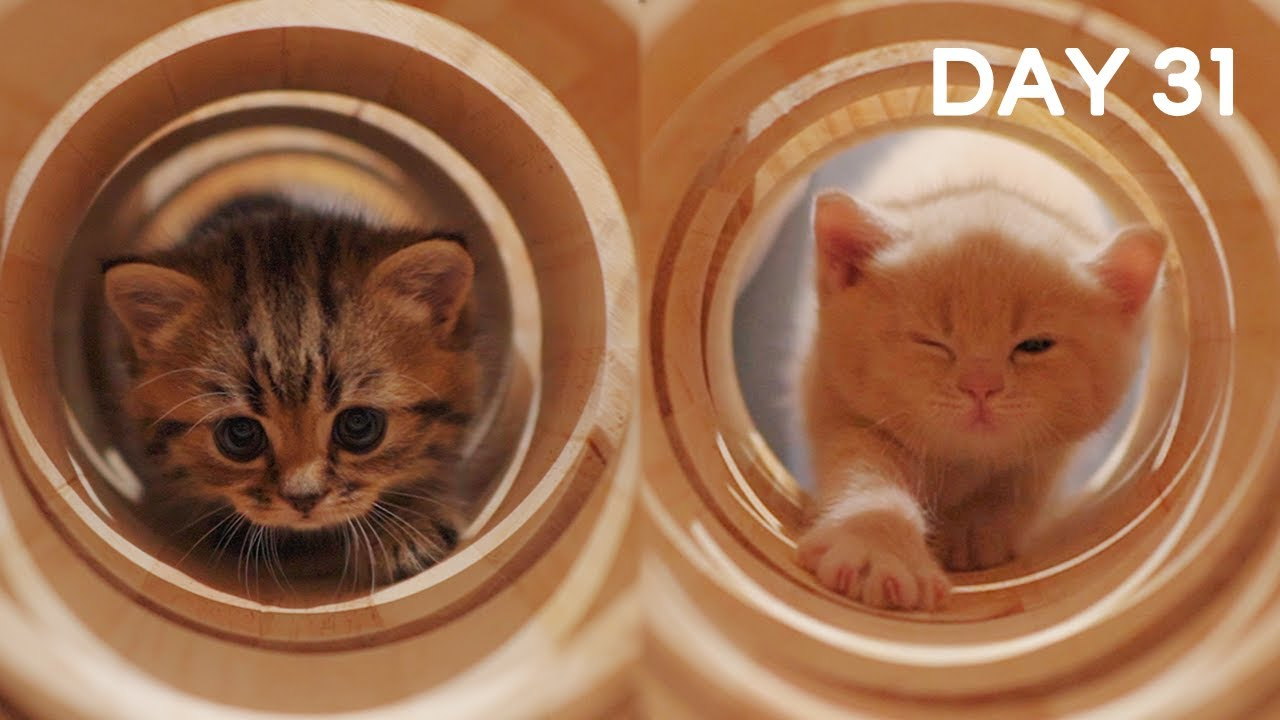 Day 31 - Baby Kittens Scared or Excited?  | Day 1 to Day 100 Kittens Grow Up Vlog