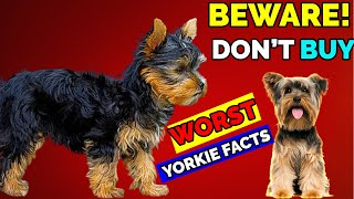 10 Reasons Why You Should Not Have a Yorkshire Terrier | Know Before Getting A Yorkie