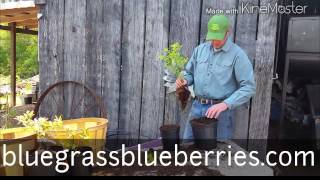 Potting a Blueberry Plant in Peat Moss and Pine Soil