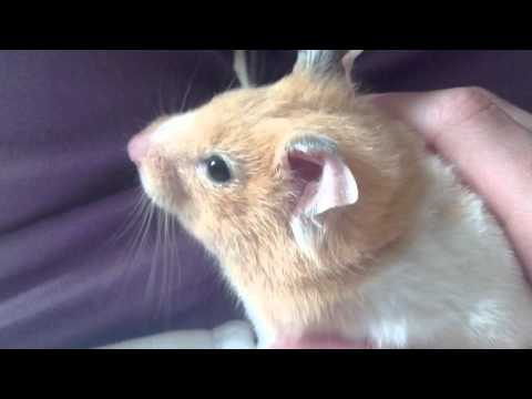 Syrian Hamsters   Are They Right For You?