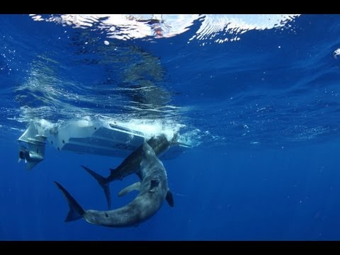 Thumbnail: Massive shark attacks marlin