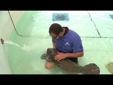 SeaWorld Orlando Now Caring for Orphaned Manatee Calf Rescued Near Merritt Island, Fla.
