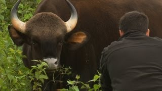 Worlds Biggest Wild Cows - Dangerous Gaur Of India
