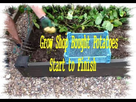 HGV Grow Potatoes in a Raised Bed Start to Finish with a Potato Reveal