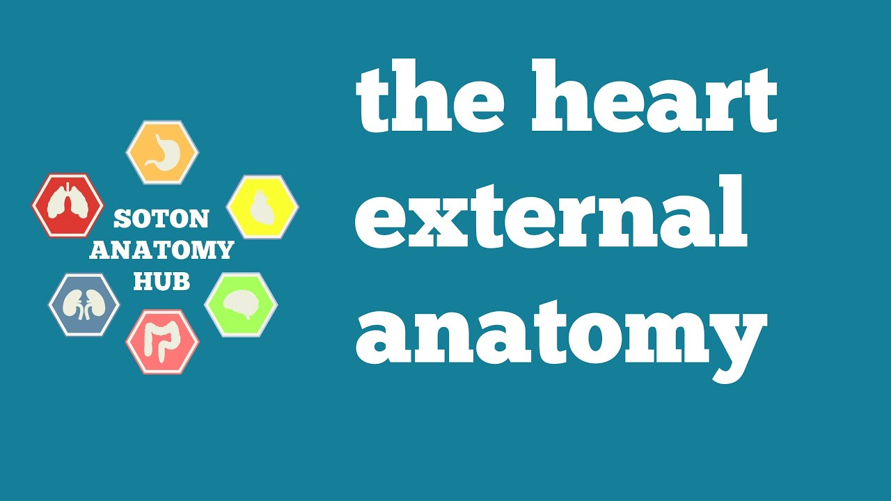 Heart external anatomy - YouTube