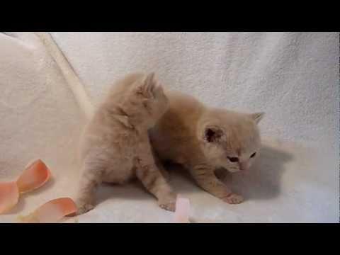 Британские породные котята,кремовый окрас,котики