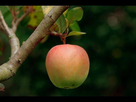 Hausapfel, Kulturapfel, Apfelbaum