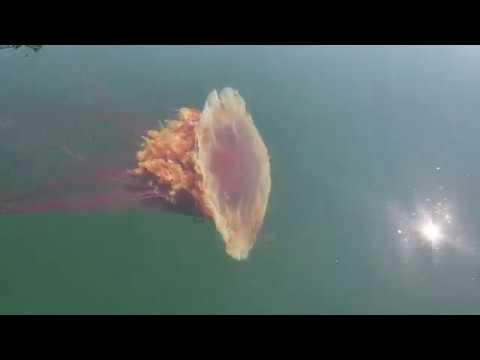 Lion's Mane Jellyfish In Puget Sound