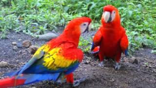 Guacamayo Macao o Guacamaya Macao Cantando Sonido para Llamar El Mejor