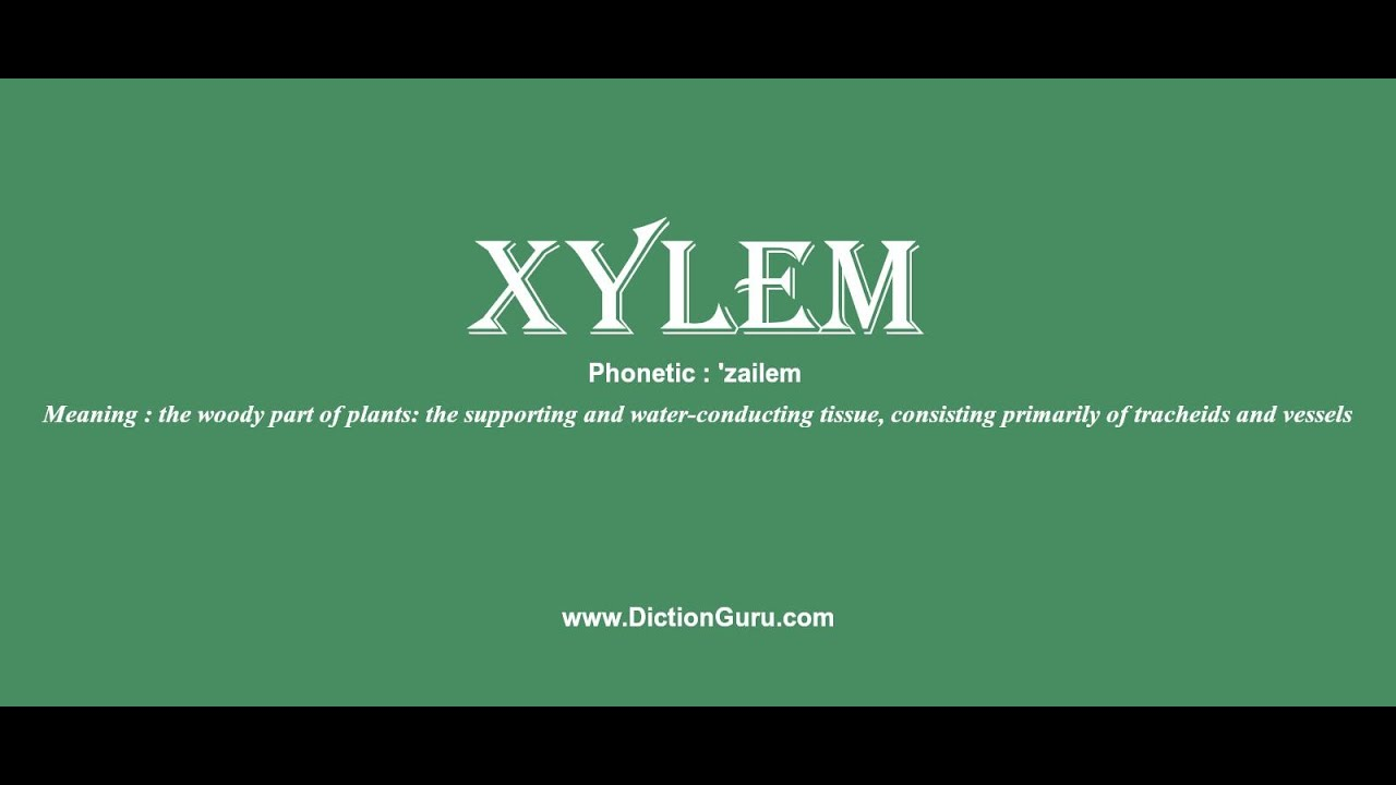Xylem How To Pronounce Xylem With Phonetic And Examples Youtube