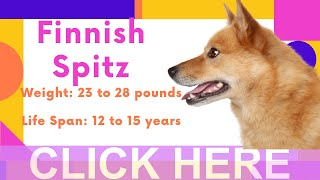 Dogs: Finnish Spitz Breed Information And Personality