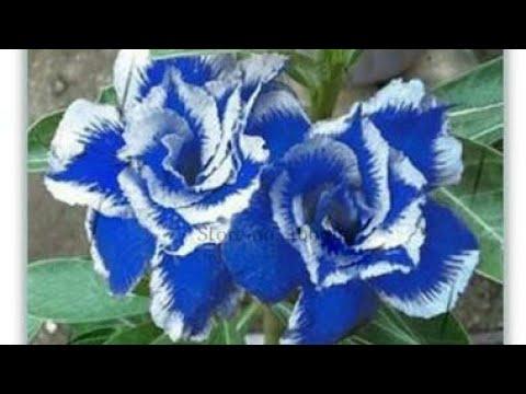 Unduh 40 Gambar Bunga Berwarna Biru HD Terbaik