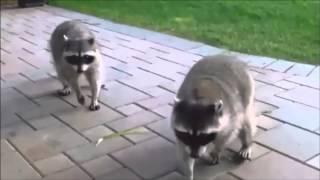 Приколы! Самое смешное видео с енотами