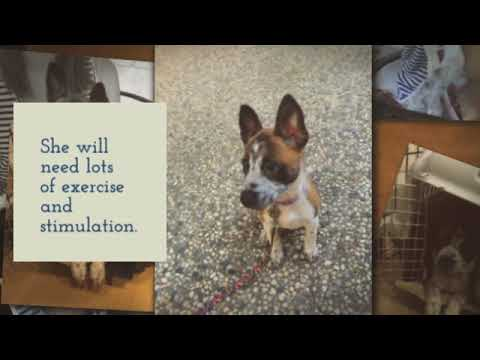 4 Month Old Female Australian Cattle Dog Mix Puppy For Adoption San