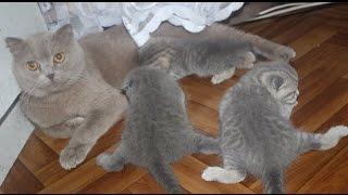 Шотландские вислоухие котята.Масины детки