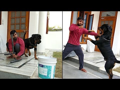 How to feed your Rottweiler after play : [ Bolt ]