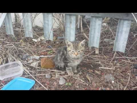 tabby wild feral kitten meowing so cute lovely cat