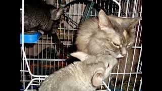 Шиншиллы и кошка