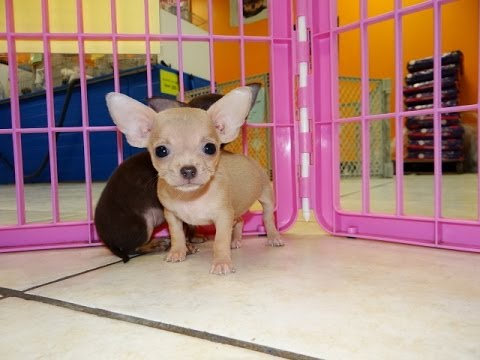 Chihuahua Puppies Dogs For Sale In Raleigh North Carolina Nc