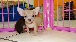 Chihuahua, Puppies, For, Sale, In, Los Angeles, California, Ca, Visalia, Thousand Oaks, East Los Ang
